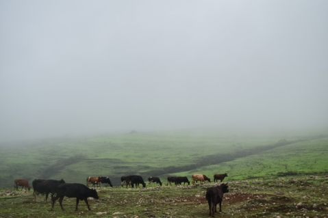 Cows grazing on green mountains of Dhofar