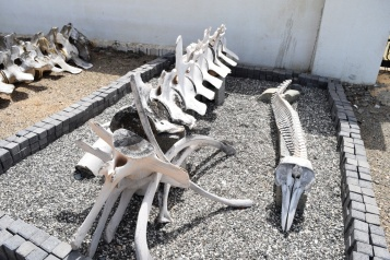 Whale bones on display